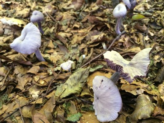 Violetter Lacktrichterling Laccaria amethystina bei anhaltender Trockenheit