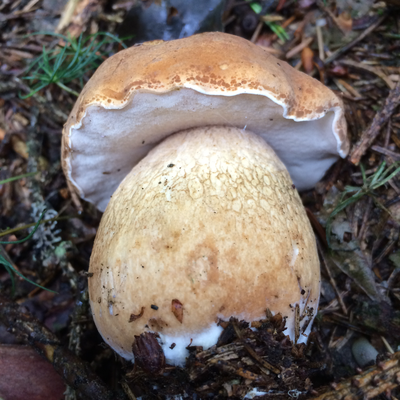 Gallenröhrling Tylopilus filleus