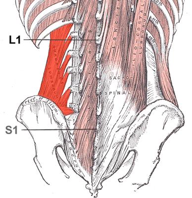 Quadratus lumborum - quadratischer Lendenmuskel