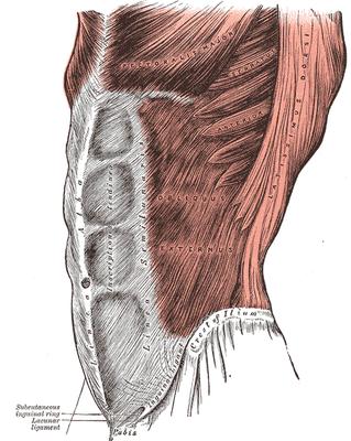 Obliquus externus - seitlicher Bauchmuskel