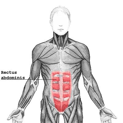 Rectus abdominis - Das Sixpack
