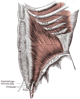 Obliquus internus - seitlicher innerer Bauchmuskel