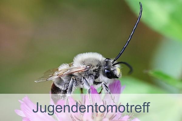 Foto: Longhornbiene, NABU-Netz