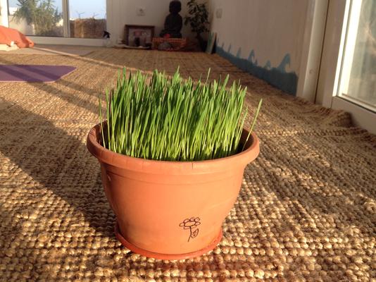 Weizengras in Samenerde, 5.Tag