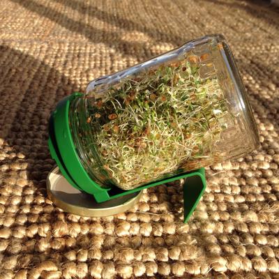 Alfalfa im Sprossenglas, 4.Tag