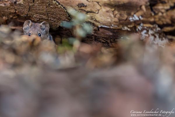 Maus im Wald