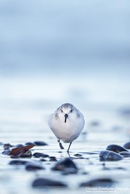Sanderling - Helgoland