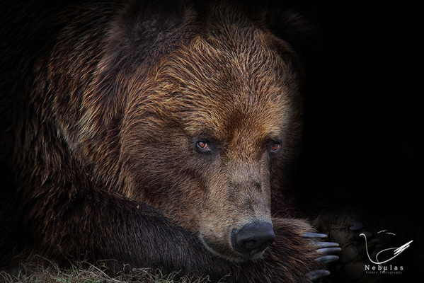 Sibirische Braunbär - Ursus arctos beringianus