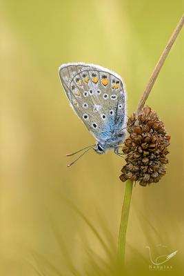 Bläuling  -Lycaenidae - Tagfalter