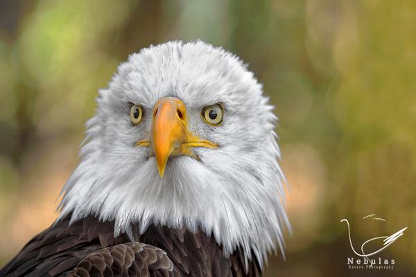Weisskopfseeadler - Haliaeetus leucocephalus - American Eagle