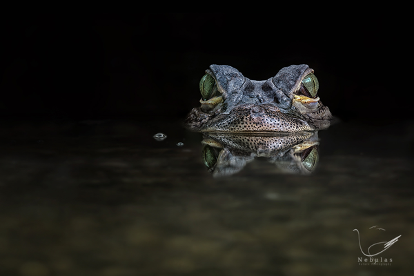 Mississippi-Alligator - Alligator mississippiensis - Hechtalligator