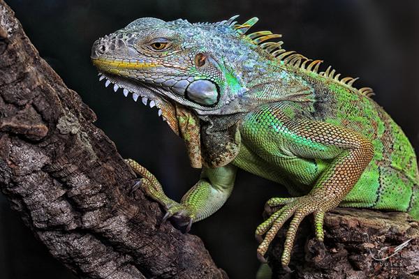 Grüne Leguan - Iguana iguana - Leguan