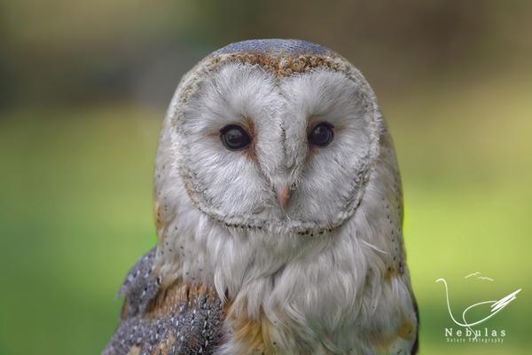 Schleiereule - Tyto alba