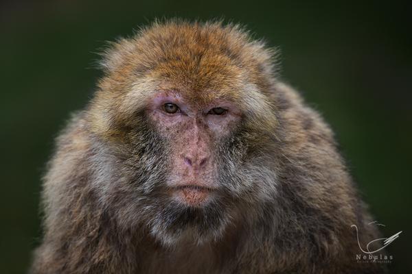 Berberaffe - Macaca sylvanus