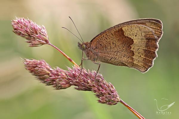 Großes Ochsenauge - Maniola jurtina - Schmetterling - Edelfalter