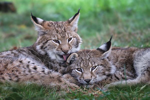 Eurasische Luchs - Nordluchs - Luchs - Lynx lynx