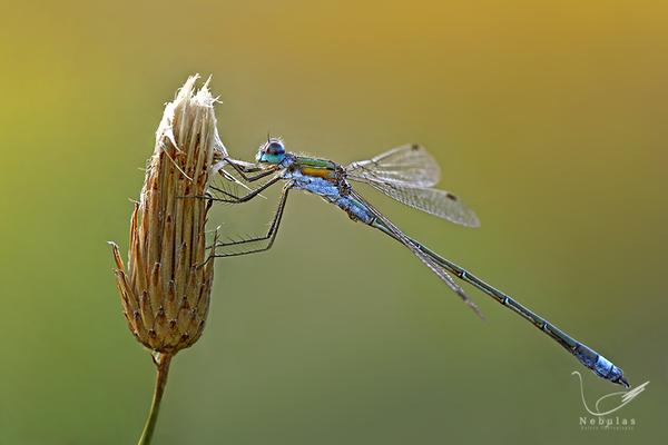 Binsenjungfer - Lestidae - Kleinlibelle