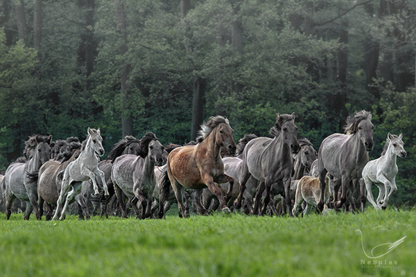Wildpferde - Merfelder Bruch