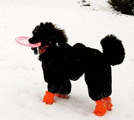 Grosspudel im Schneeanzug mit Stulpen und Frisbee