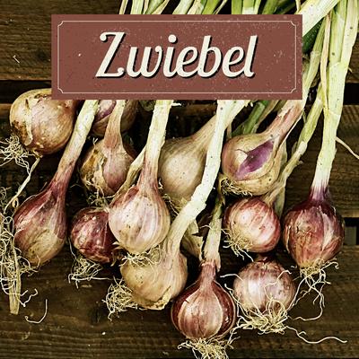 Zwiebel Anbau erntefibel.de