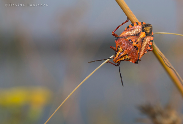 eterottero (Carpocoris mediterraneus)