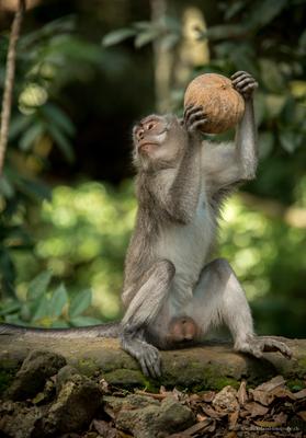 Makaken im Affenwald in Ubud, Bali