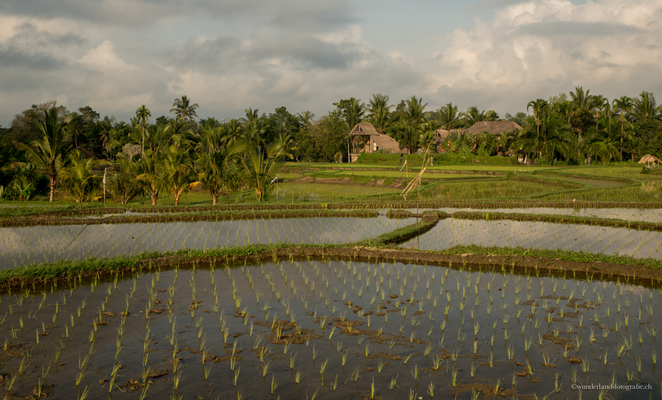 Reisfeld in Ubud, Bali
