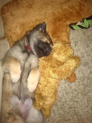 """Anouk 9 Wochen alt mit """"Stoffhund"""""""