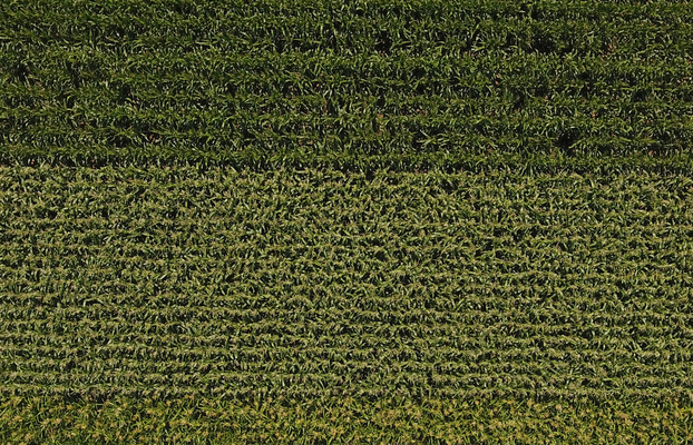 Luftaufnahme Mais