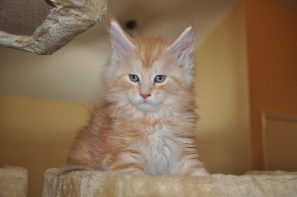 "Lennon ""Abrikos"", red silver classic tabby, male"