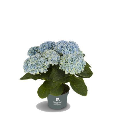 ©Magical Colours Your Home, hortensia Revolution bleu en 10,5 cm.