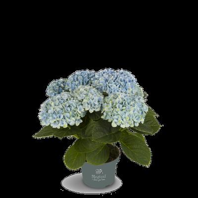 ©Magical Colours Your Home, hortensia Revolution bleu en 10,5 cm.