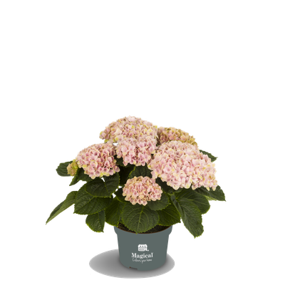 ©Magical Colours Your Home, hortensia Revolution rose en 10,5 cm.