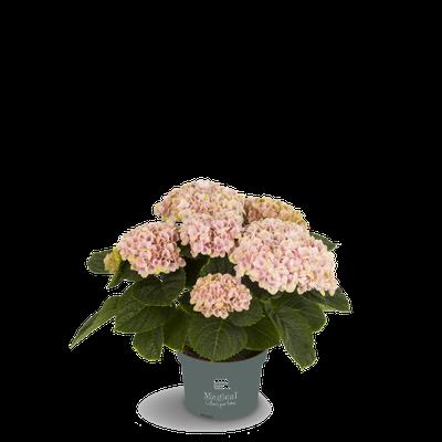 ©Magical Colours Your Home, hortensia Revolution rose en 10,5 cm.