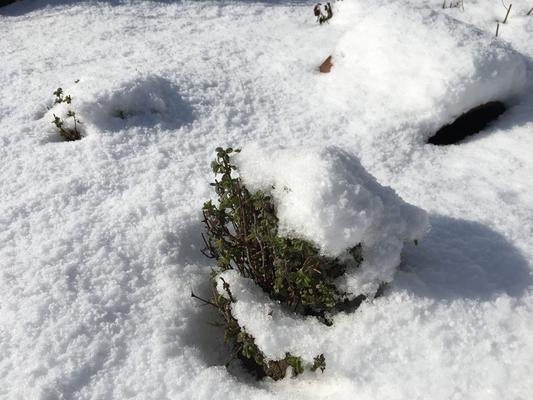 雪の下で春を待つマジョラム