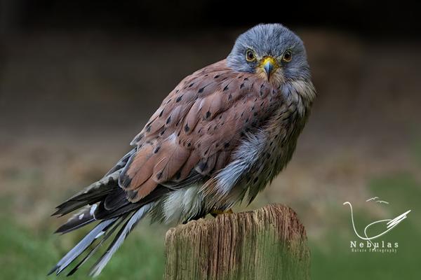 Turmfalke - Falco tinnunculus    Foto:Michael Milfeit
