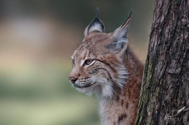 Eurasischer Luchs - Nordluchs - Luchs - Lynx lynx    Foto:Michael Milfeit
