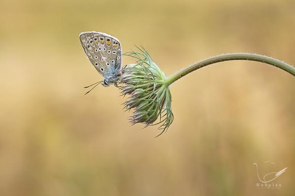 Bläuling -Lycaenidae - Tagfalter   Foto:Michael Milfeit