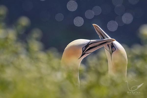 Basstölpel - Morus bassanus   Foto:Michael Milfeit