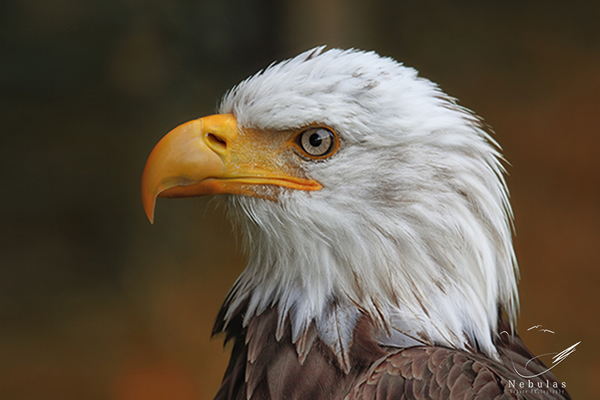 Weisskopfseeadler - Haliaeetus leucocephalus - American Eagle   Foto:Michael Milfeit