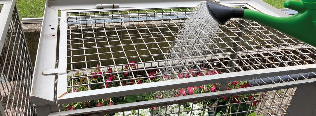 Juli 2020 – Auch wenn es in Flensburg schon mal regnet, brauchen die Tabakpflanzen doch oft Wasser.