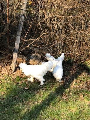 Sultanhühner Weiß