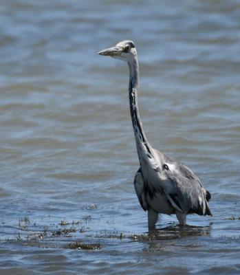 Grey Heron, Camargue