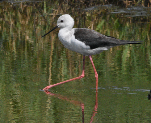 Black-winged stilt, Loire estuary