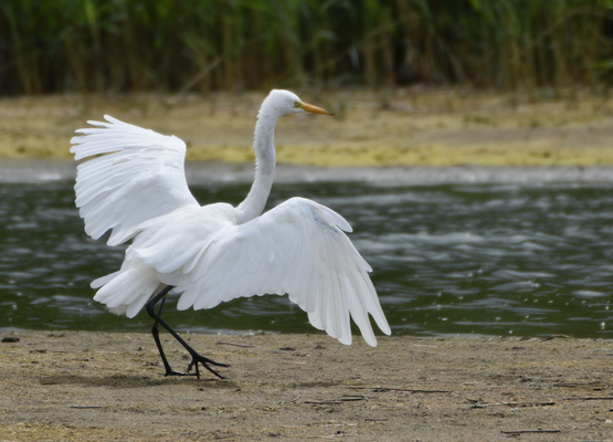 Great White Egret, Somme Estuary