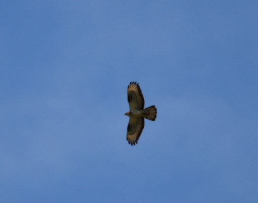 European Honey Buzzard, Occitanie