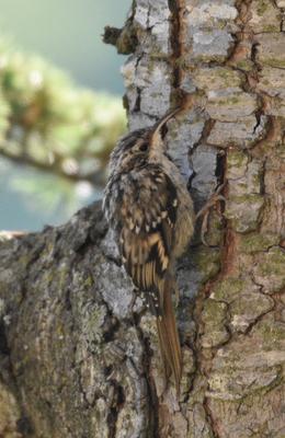 Short-toed Treecreeper, Provence