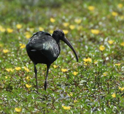 Glossy Ibis, Camargue