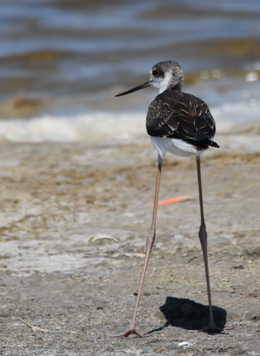 Black-winged stilt, Camargue