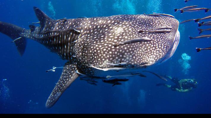 Wahlhai aus nächster nähe